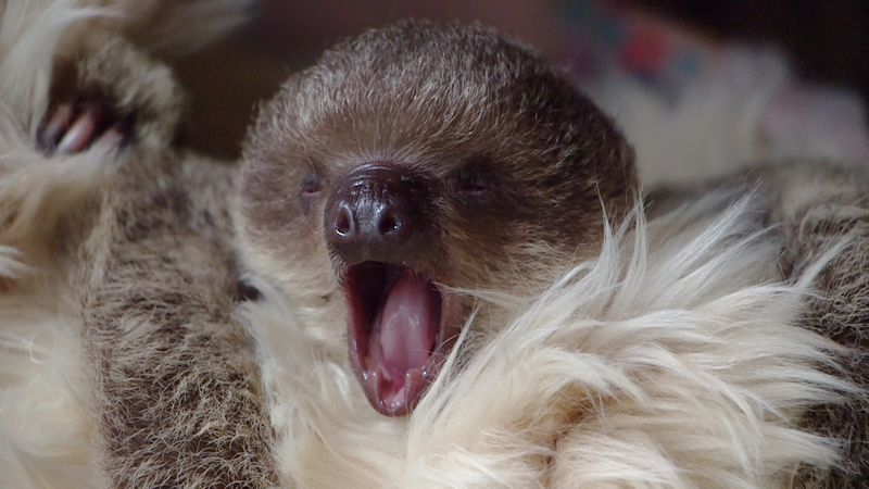 Yawning sloth baby at ZSL London Zoo - July 2015 (c)ZSL