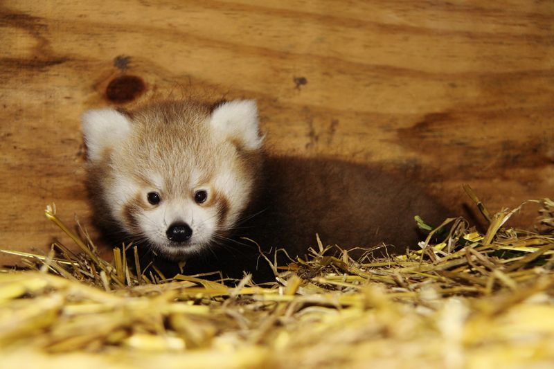 2_Red Panda Baby at Longleat four PIC Ian Turner (1900x1267)