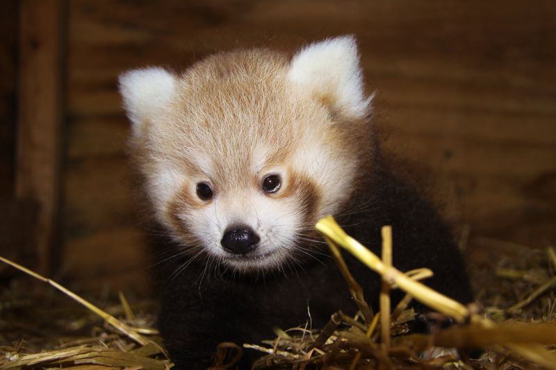 3_Red Panda Baby at Longleat two PIC Ian Turner