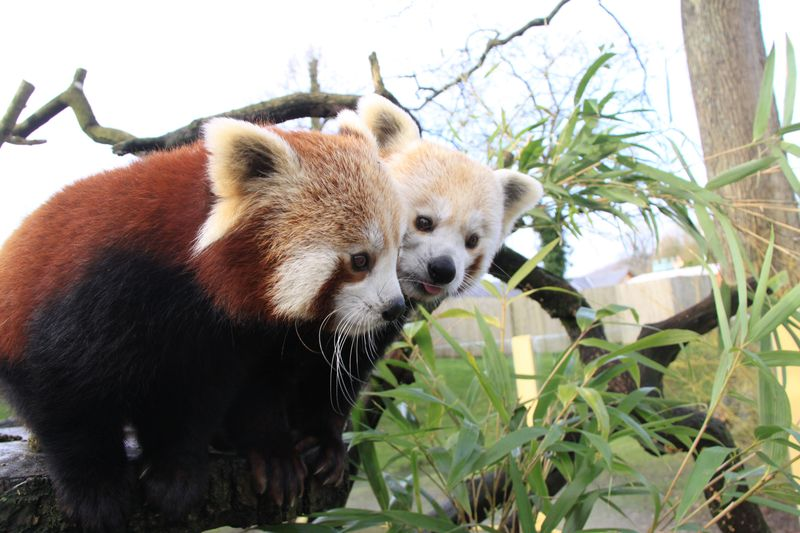 4_Red panda mum and dad at Longleat PIC Ian Turner