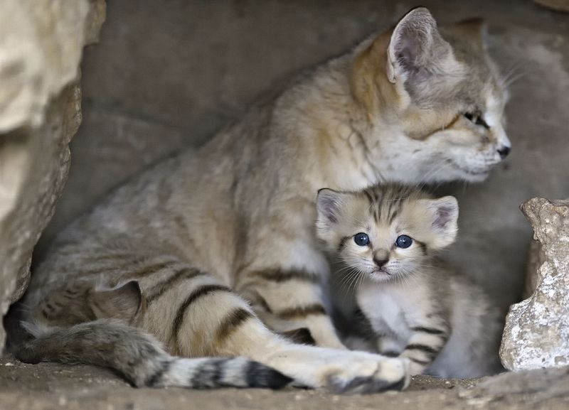 Israel's Sand Cat Kittens Back by Popular Demand