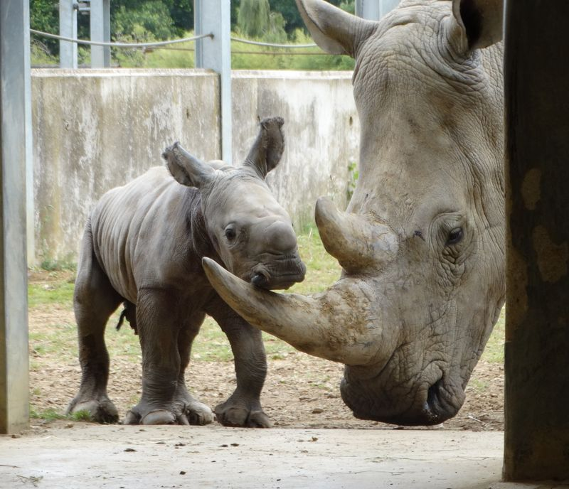 1_Baby Rhino resting on mother's horn