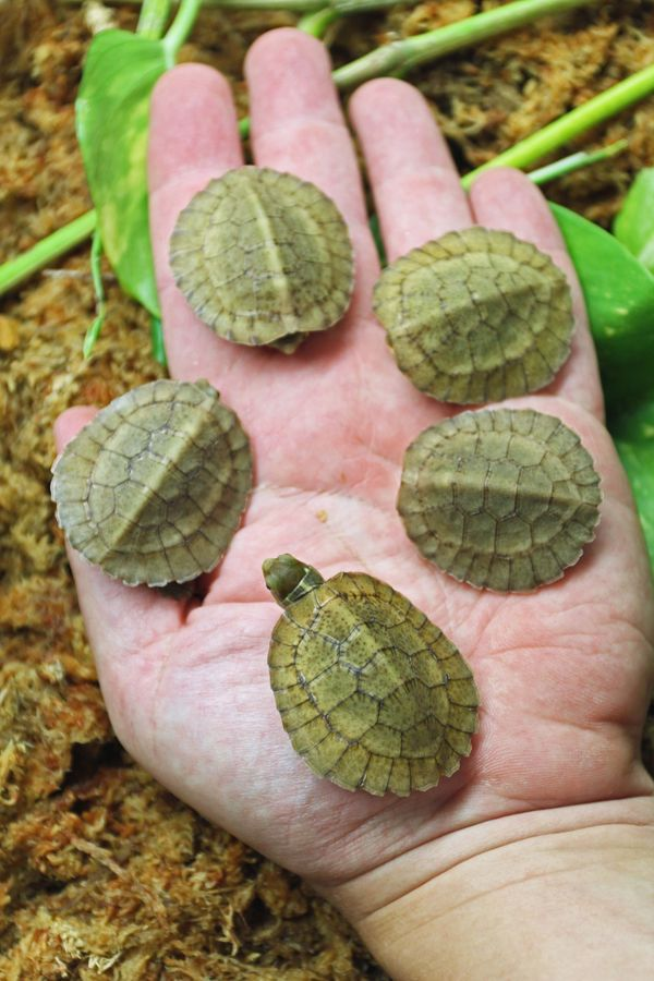 Tiny Endangered Turtles Hatch at Tennessee Aquarium