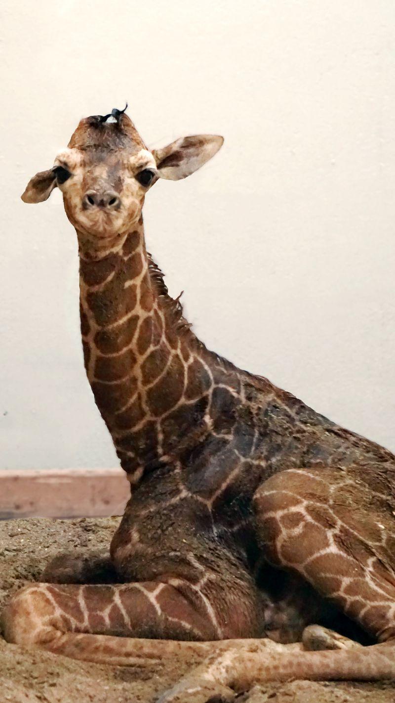 9_Giraffe Calf quick edit 1