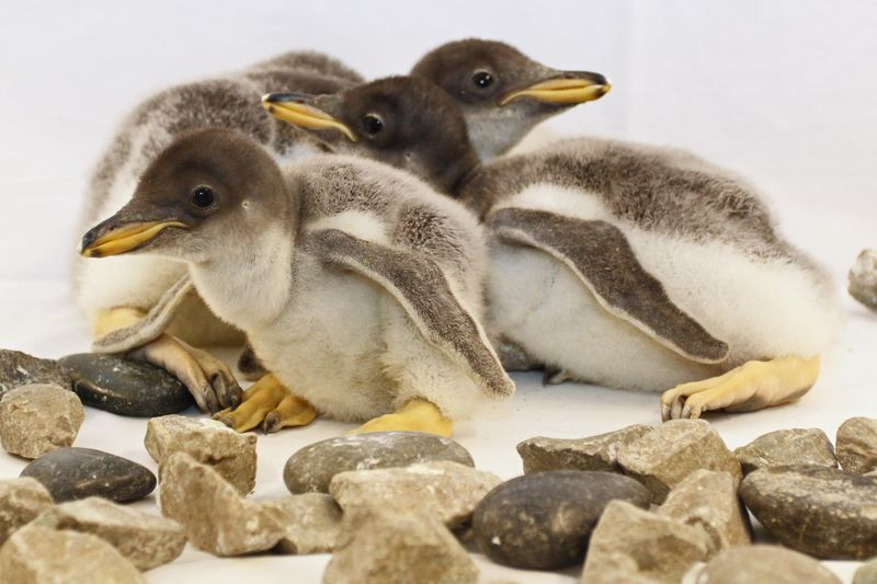 2_Baby Gentoo Penguins at the TN Aquarium 2015