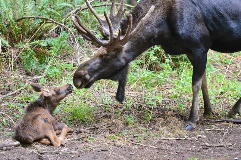 First Moose Born In Fifteen Years At Northwest Trek Zooborns