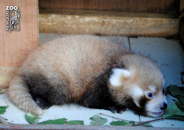 It's International Red Panda Day!