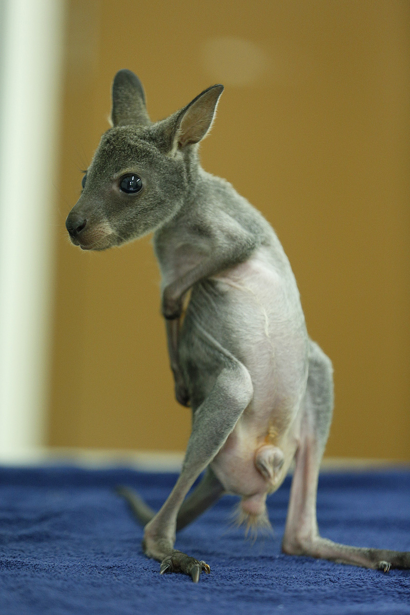 Wallaby 7