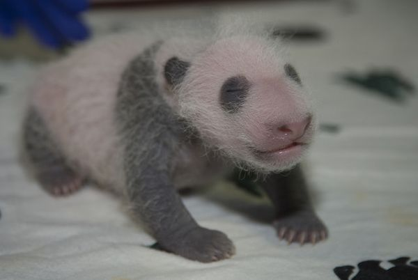Latest on Giant Panda Cub at National Zoo
