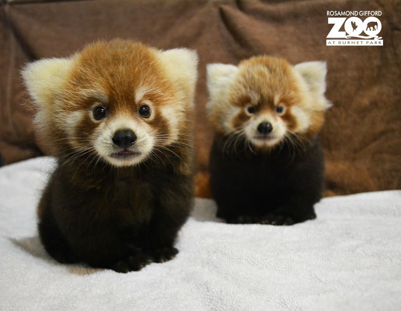 Red Panda Duo Debuts at Rosamond Gifford Zoo ZooBorns