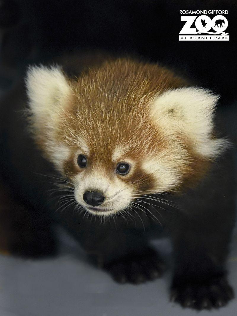 3_RGZ red panda 3_TerriRedhead