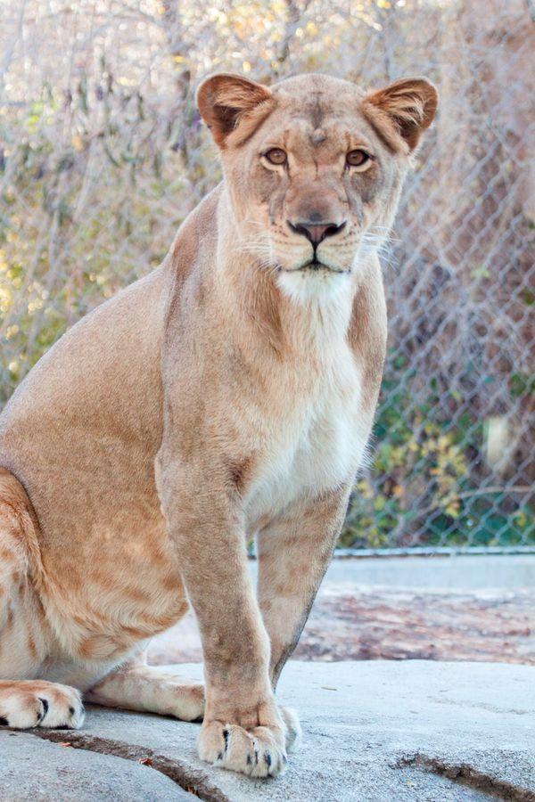 Denver Zoo Announces Birth of Lion Cubs