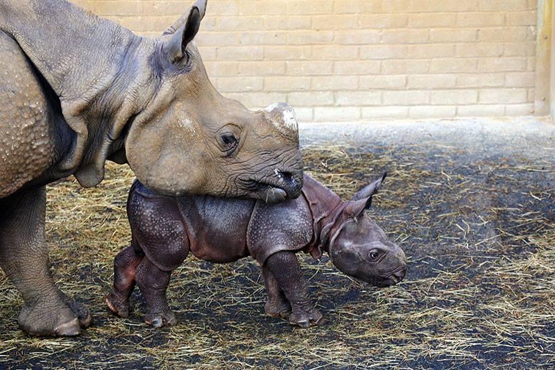 3_Whipsnade Rhino Calf