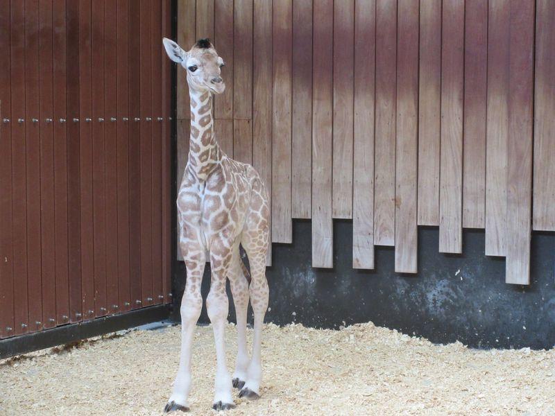 2_MilwaukeeGiraffe