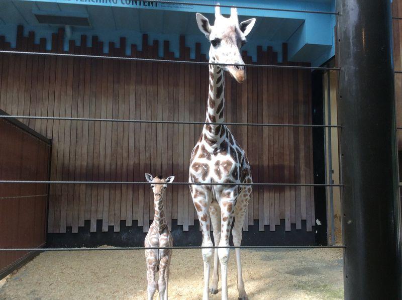 5_MilwaukeeGiraffe