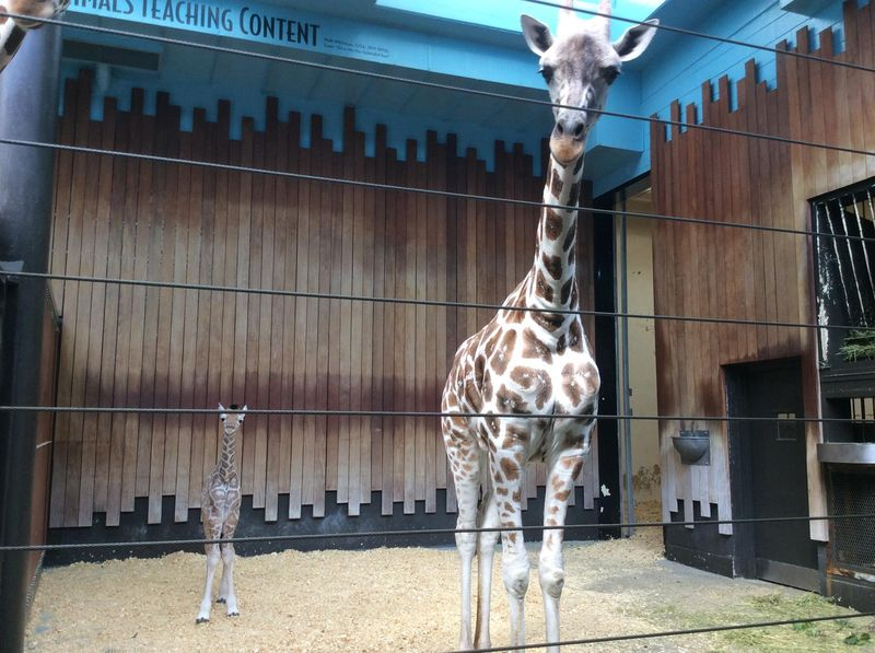 8_MilwaukeeGiraffe