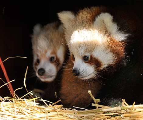 2_ZSL Whipsnade Red Pandas