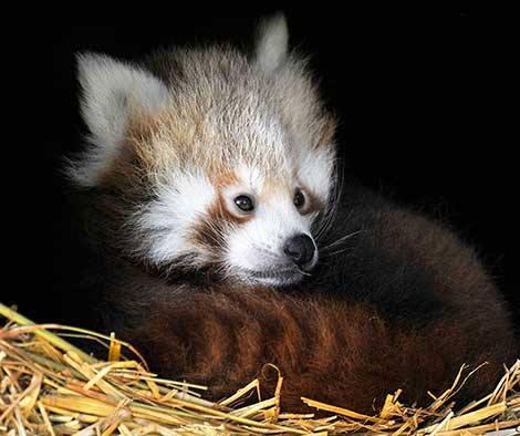 3_ZSL Whipsnade Red Pandas