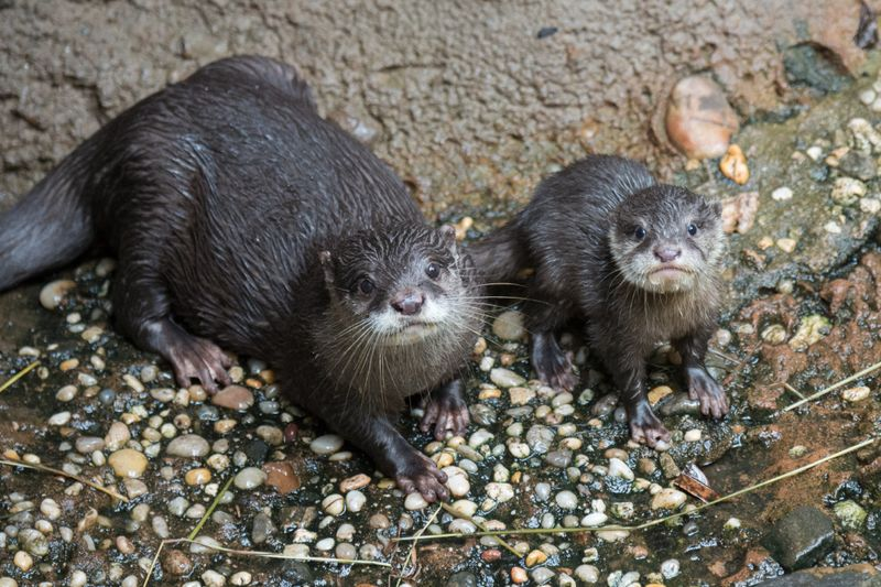 2_Julie Larsen Maher _3517_Asian Small-clawed Otters and Pup_JUN_BZ_09 04 ...