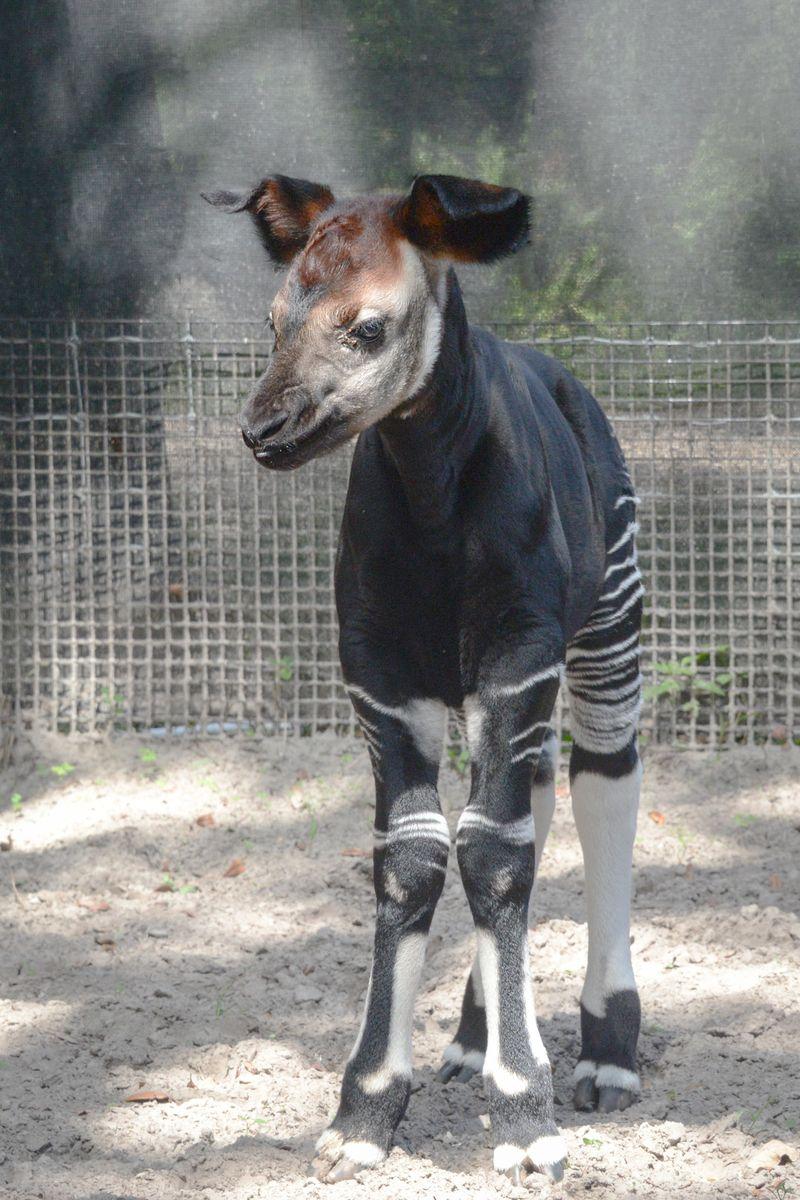 Africa okapi calf 5 oct 2 2015