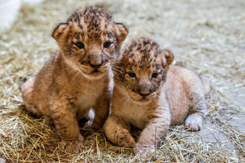 5_lion cubs7-Jackie Curts