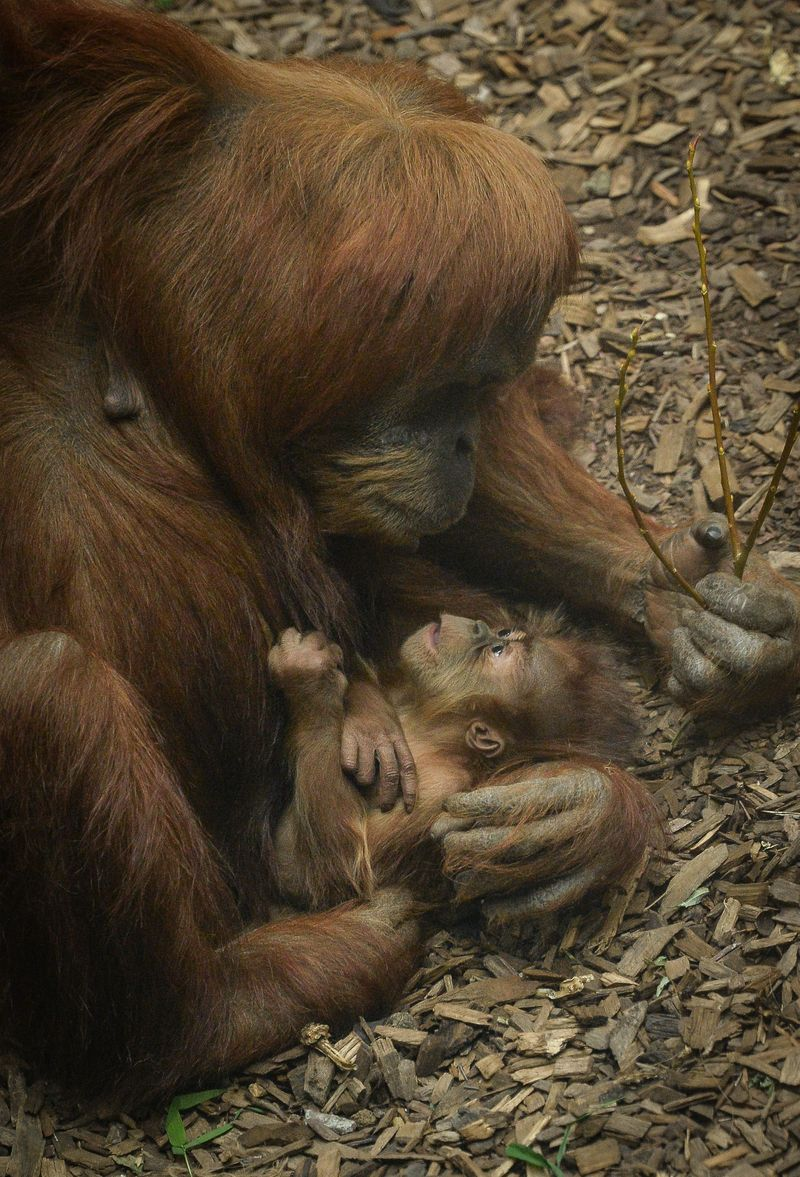 3_Baby orangutan Siska with mum Subis at Chester Zoo (1)