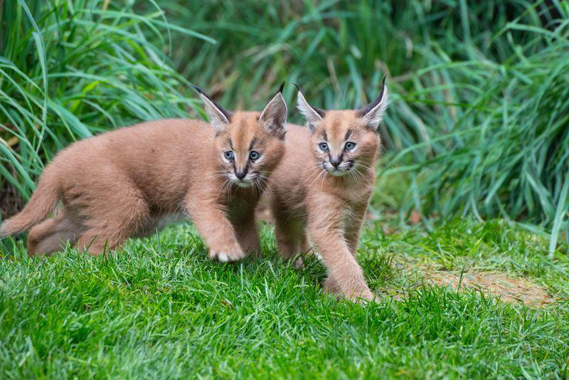 1_Oregon Caracal kittens