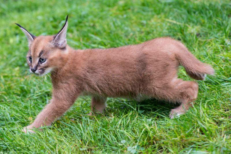 2_Oregon Caracal kittens
