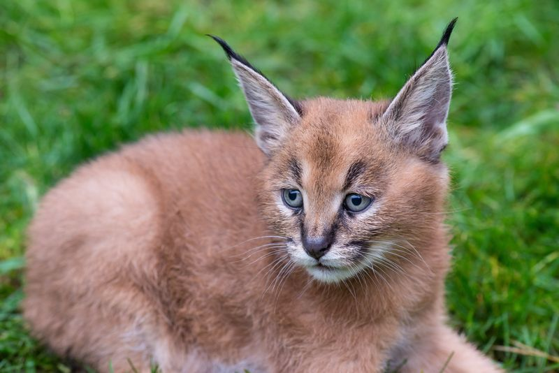 3_Oregon Caracal kittens