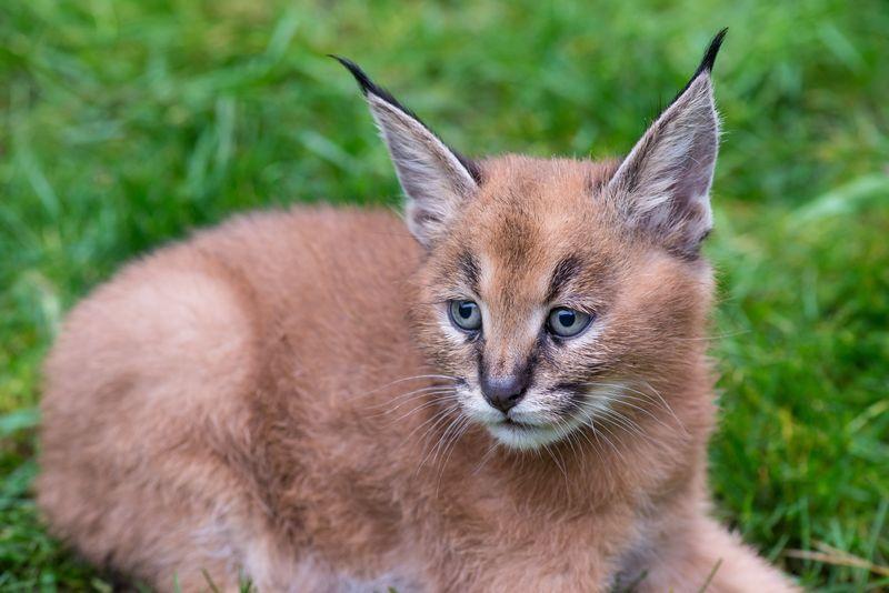 3_Oregon Caracal kittens