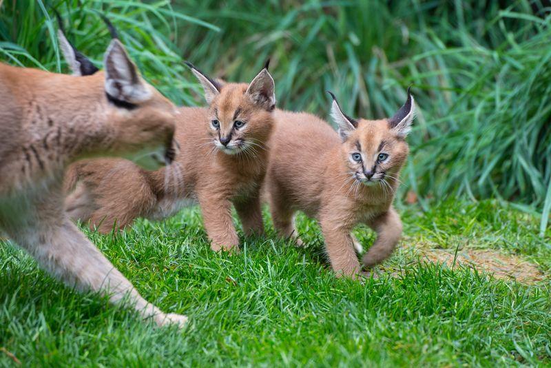 5_Oregon Caracal kittens