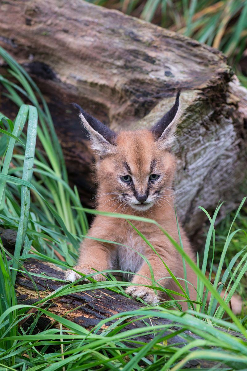 6_Oregon Caracal kittens