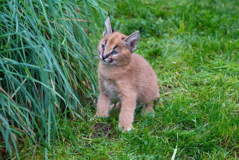 8_Oregon Caracal kittens