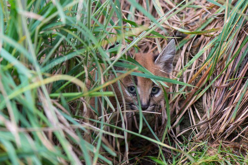 9_Oregon Caracal kittens