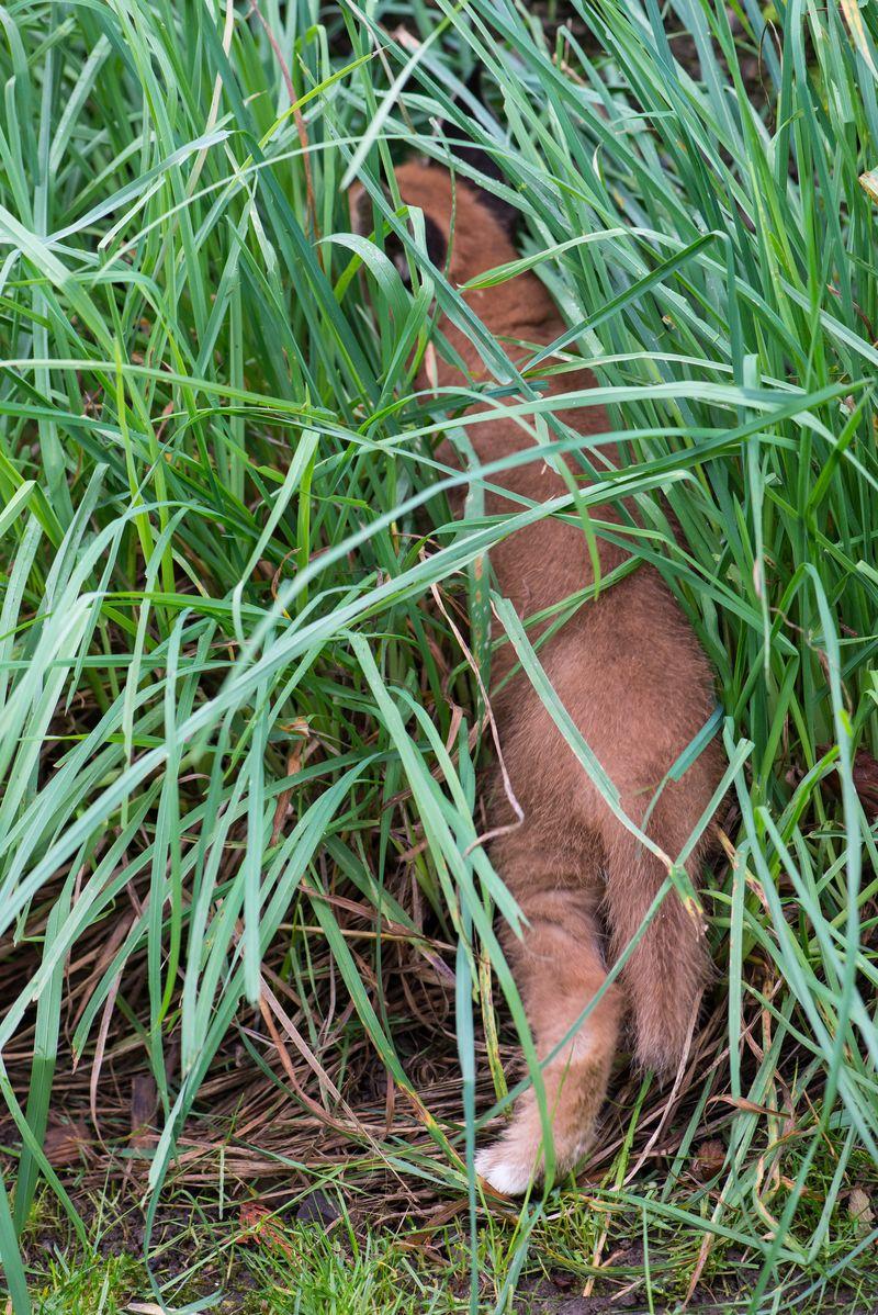 11_Oregon Caracal kittens