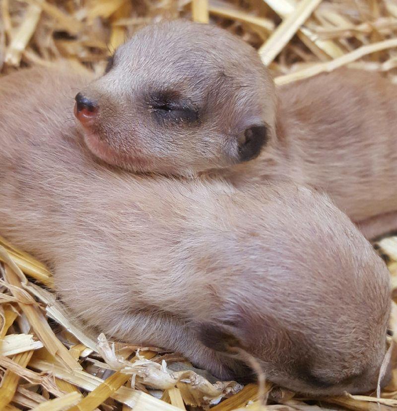 3_Meerkat pups-Alea Kuczynski