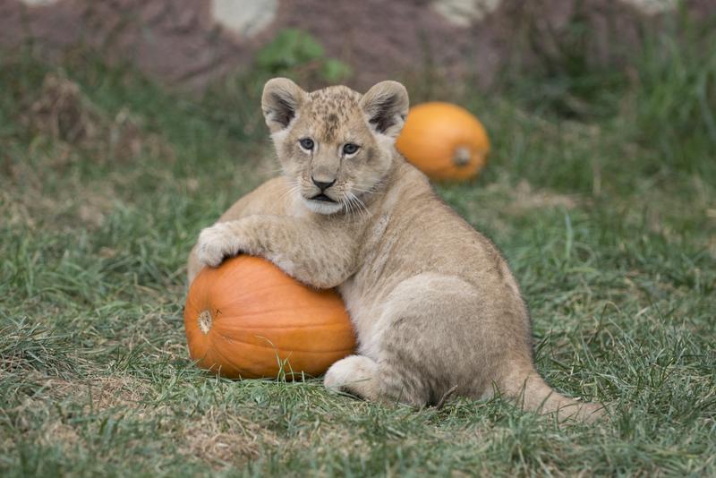Lion Cubs 9982 - Grahm S. Jones, Columbus Zoo and Aquarium