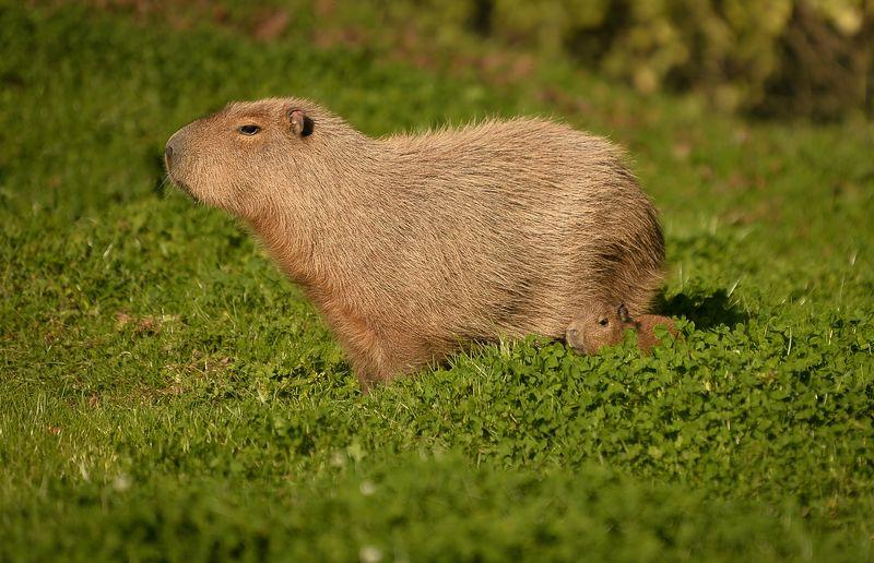 4_Capybara-9