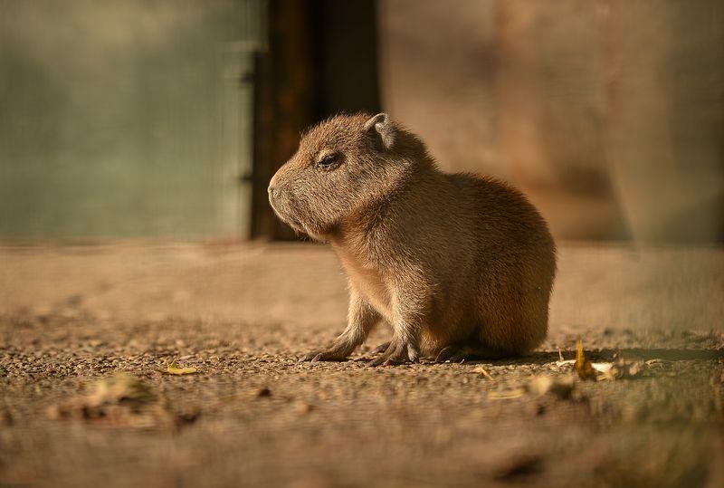 5_Capybara-2