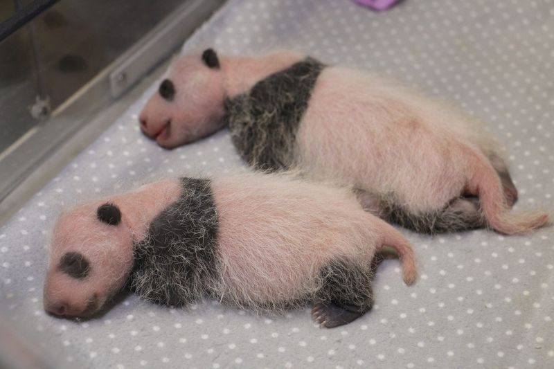 UPDATE: Giant Panda Cubs Triple Their Weight