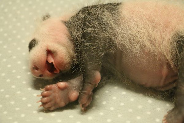 Giant Panda Cubs Triple Their Weight