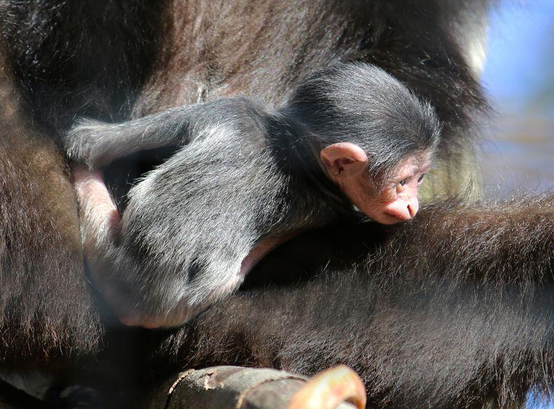 Gibbon baby2-Carla Knapp