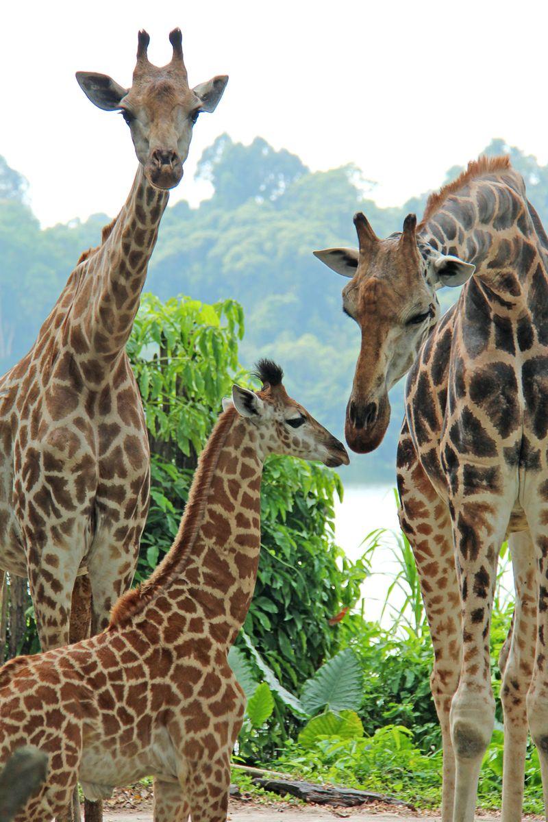 1_SZ Image 7_Giraffe calf_WRS