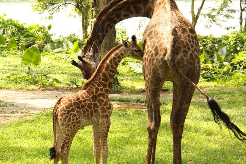 6_SZ Image 2_ Giraffe calf_WRS