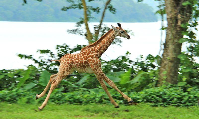 7_SZ Image 9_Giraffe calf_WRS