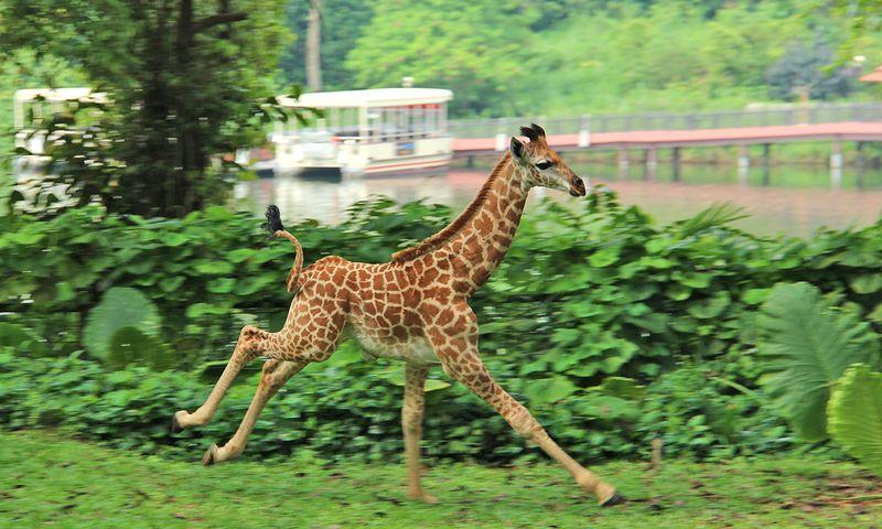 8_SZ Image 10_Giraffe calf_WRS