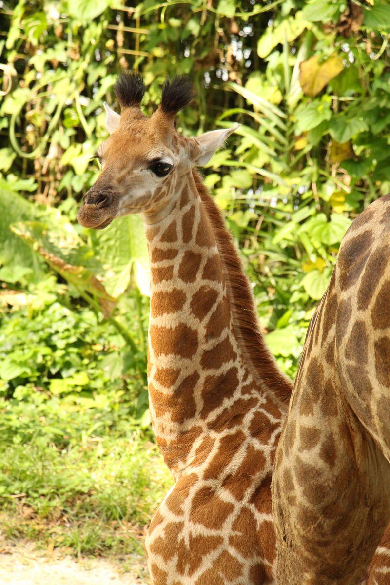 10_SZ Image 3_Giraffe calf_WRS