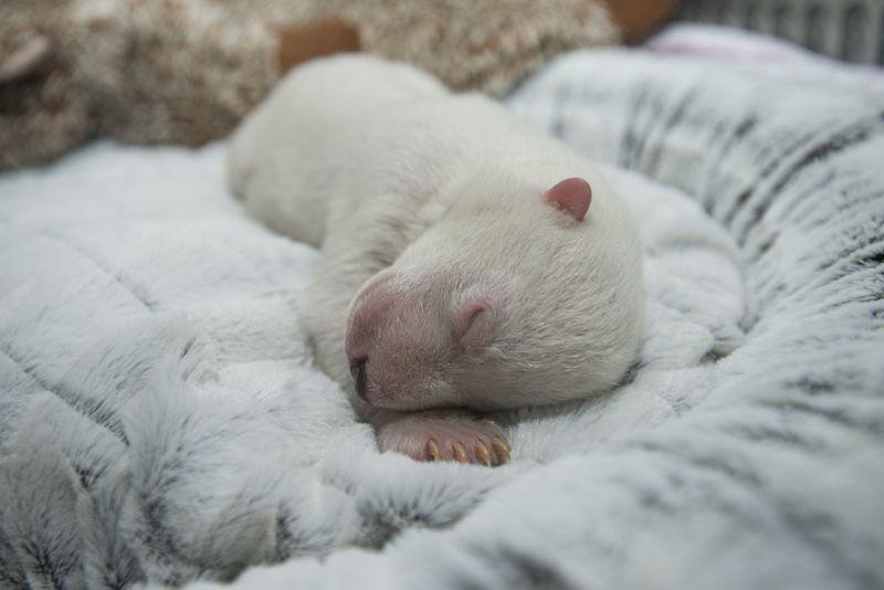 2_Polar Bear Cub 7455 - Grahm S. Jones, Columbus Zoo and Aquarium