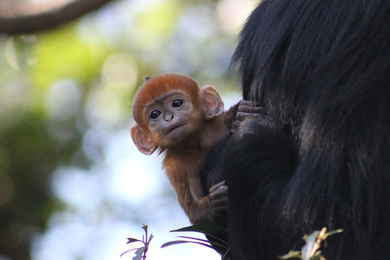 Baby Langur (20)