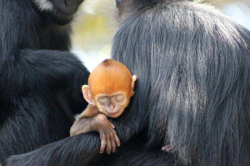 Baby Langur (23)